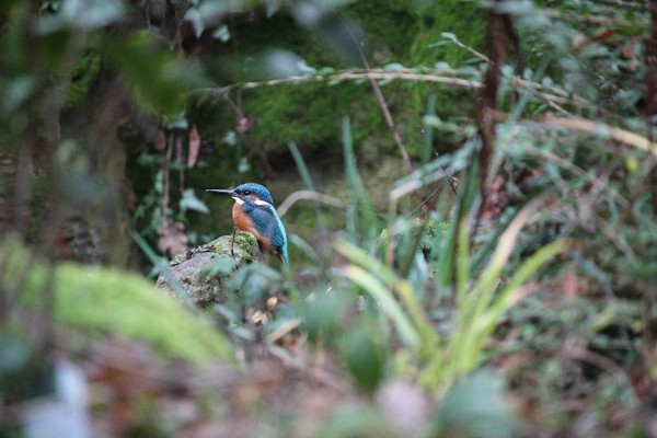 A kingfisher in Highlands Gardens, December 2016, fuzzy plants in foreground