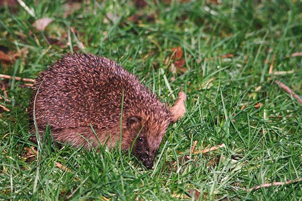 Hedgehog, January 2020.  Photo copyright 2020 Martin Jones, with thanks
